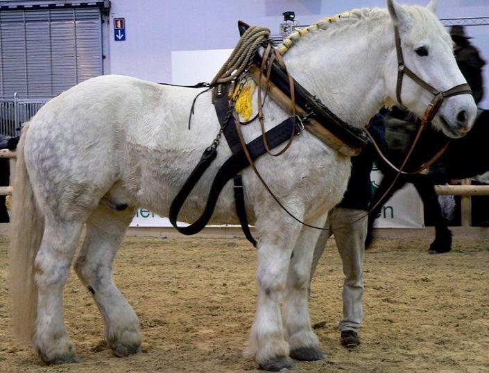 Самые сильные и грациозные породы лошадей, 30 фото
