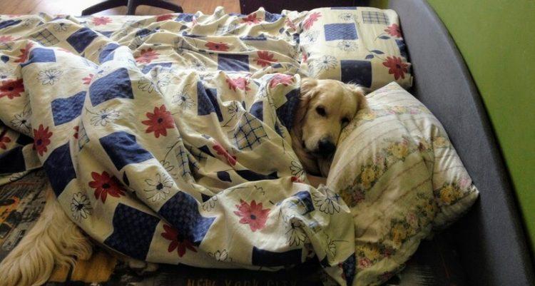 50 собак, бесстыдно захвативших кровати хозяев